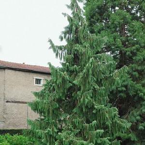 Chamaecyparis nootkatensis 'Pendula', Alaska Cedar 'Pendula', Yellow Cedar 'Pendula', Nootka Cypress 'Pendula', Nootka Falsecypress 'Pendula', Callitropsis nootkatensis 'Pendula', Xanthocyparis nootkatensis 'Pendula', Cupressus nootkaensis 'Pendula', Evergreen Tree, Small Conifer