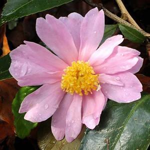 Camellia 'Winter's Rose','Winter's Rose' Camellia, Cold Hardy Camellias, Camellia Hybrids, Winter Series Camellias, Pink flowers, Fall Camellias, Fall Blooming Camellias, Winter Blooming Camellias, Early Season Camellias