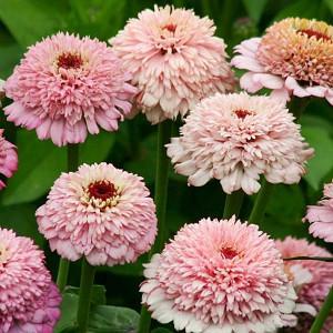 Zinnia 'Zinderella Lilac', Zinnia Elegans 'Zinderella Lilac', Zinderella Lilac Zinnia, Lilac Zinnia, Lilac Flowers