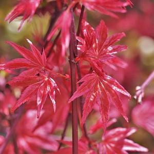 Acer palmatum 'Shin-Deshojo', Japanese Maple Shin-Deshojo, Japanese maple 'Shindeshojo', Tree with fall color, Fall color, Attractive bark Tree, red leaves, Red Acer, Red Japanese Maple, Red Maple