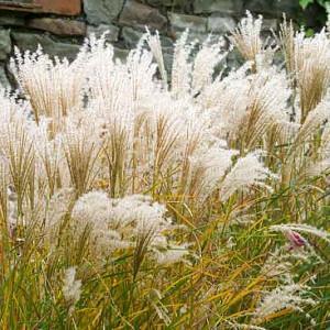 Miscanthus Sinensis 'Kleine Fontane', Maiden Grass 'Kleine Fontane', Eulalia 'Kleine Fontane', Chinese Silver Grass 'Kleine Fontane', Japanese Silver Grass 'Kleine Fontane', Low maintenance grasses, Low maintenance