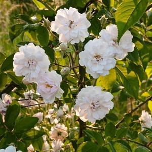 Rose 'Paul's Himalayan Musk', Rosa 'Paul's Himalayan Musk', Climbing Rose 'Paul's Himalayan Musk',  Rambler Rose 'Paul's Himalayan Musk', Climbing Roses, Pink roses, Rose bushes, Garden Roses