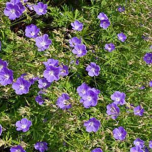 Geranium Himalayense, Lilac Cranesbill, Himalayan Crane's Bill, Geranium Himalayense Alpinum , Geranium Grandiflorum, Himalayan Cranesbill, Geranium Meeboldii, Geranium Himalayense var. Meeboldii, Best geraniums, Best groundcovers, Blue geranium, Purple g