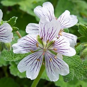 Geranium Renardii, Hardy Geranium, Caucasian Cranesbill, Renard Geranium, Award geranium, AGM Geranium, Best geraniums, Best groundcovers, white geranium