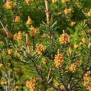 Pinus banksiana, Jack Pine, Evergreen Conifer, Evergreen Shrub, Evergreen Tree,
