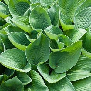 Hosta Gracillima, Plantain Lily, Hosta longipes var. gracillima, shade plant, shade perennial, Hime Iwa Giboshi
