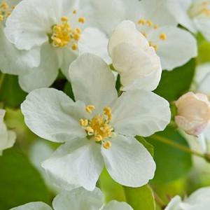 Malus sargentii, Sargent Crabapple, Malus toringo subsp. sargentii, Fragrant Shrub, Fragrant Tree, Red fruit, Red berries, Winter fruits