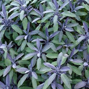 Salvia Officinalis 'Purpurascens', Purple Sage, Salvia officinalis Purpurascens Group, Salvia officinalis 'Purpurea', award-winning salvia, Purple Salvia, Evergreen shrub