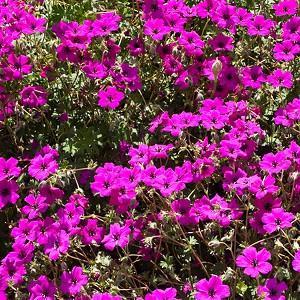 Geranium subcaulescens 'Giuseppii', Black-Eyed Magenta Cranesbill 'Giuseppi', Cranesbill 'Giuseppii', Geranium (Cinereum Group) 'Giuseppii', Geranium cinereum subsp. subcaulescens var. subcaulescens 'Giuseppii', Geranium cinereum var. subcaulescens 'Giuseppii', Hardy Geraniums, Best geraniums, Best Border Geranium, purple geranium