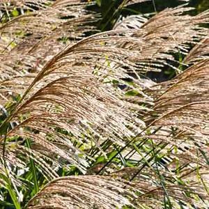 Miscanthus Sinensis 'Silberfeder', Maiden Grass 'Silberfeder', Eulalia 'Silberfeder', Chinese Silver Grass 'Silberfeder', Japanese Silver Grass 'Silberfeder', 'Silver Feather' Maiden Grass, Low maintenance grasses, Low maintenance plants