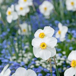 Narcissus 'Actaea', Daffodil 'Actaea', Poeticus Daffodil 'Actaea', Spring Bulbs, Spring Flowers, late spring bulb, fragrant daffodil