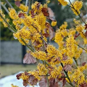 Hamamelis Brevipetala, Witch Hazel 'Brevipetala', Chinese Witch Hazel 'Brevipetala', flowering shrub, winter flowering shrub