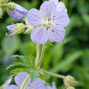Geranium Pratense 'Mrs Kendall Clark', Meadow Cranesbill 'Mrs Kendall Clark', Meadow Cranesbill,'Hardy Geranium 'Mrs Kendall Clark', Blue Geranium, Best geraniums, Best groundcovers