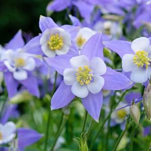 Aquilegia Caerulea , Rocky Mountain Columbine, Colorado Blue Columbine, Blue Aquilegia, Bicolor Aquilegia