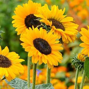 Helianthus annuus, Common Sunflower, Comb Flower, Golden Flower of Peru, St Bartholomew's Star, Yellow Flowers, Yellow Perennials