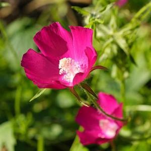 Callirhoe Involucrata, Purple Poppy Mallow, Buffalo Rose, Winecup, Drought tolerant perennials, Purple perennial flowers, Evergreen perennial,Low maintenance perennial
