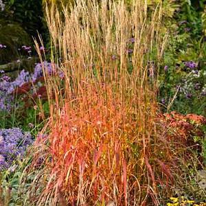 Miscanthus Sinensis 'Ghana', Maiden Grass 'Ghana', Eulalia 'Ghana', Chinese Silver Grass 'Ghana', Japanese Silver Grass 'Ghana', Low maintenance grasses, Low maintenance plants