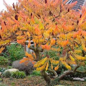 Rhus Typhina 'Dissecta', Cut-Leaf Staghorn Sumac, Rhus hirta 'Laciniata', Rhus typhina f. laciniata, Rhus typhina 'Laciniata', Fall color, Shrub