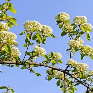 Viburnum Lentago, Nannyberry, Sheepberry, Sweet Viburnum, Fragrant Shrub, Shrub with fall color, fall color, shrub with berries