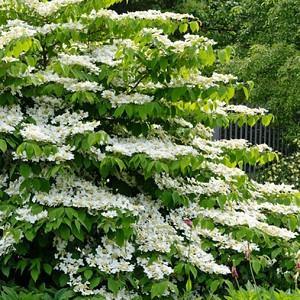 Viburnum Plicatum f. Tomentosum 'Shasta', Japanese snowball 'Shasta', Doublefile Viburnum 'Shasta', Double File Viburnum 'Shasta', White flowers