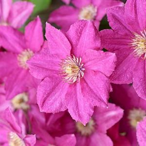 Clematis 'Asao', Large-Flowered Clematis 'Asao', group 2 clematis, Pink clematis, Clematis Vine, Clematis Plant, Flower Vines, Clematis Flower, Clematis Pruning,