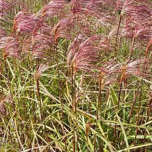 Miscanthus Sinensis 'Zebrinus', Maiden Grass 'Zebrinus', Eulalia 'Zebrinus', Chinese Silver Grass 'Zebrinus', Japanese Silver Grass 'Zebrinus', Zebra Grass, Low maintenance grasses, Low maintenance plants