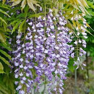 Wisteria Floribunda 'Murasaki Noda',Japanese Wisteria 'Murasaki Noda', Wisteria Floribunda 'Purple Patches', Japanese Wisteria 'Purple Patches',Japanese Wisteria,Fragrant Vine, Purple Flowers, Lavender Flowers