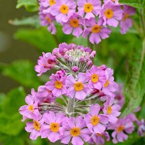Primula x Bulleesiana, Primrose, Candelabra Primrose, Candelabra Primula, Bulle's Primrose, Shade plants, shade perennial, plants for shade, plants for wet soils