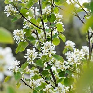 Amelanchier Alnifolia 'Regent' (Serviceberry), Serviceberry 'Regent', Alder-Leaved Serviceberry 'Regent', Saskatoon 'Regent', Amelanchier 'Regent', Shrub, Fall color, Shrub with berries