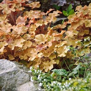 Heuchera 'Caramel', Alum Root 'Caramel', Coral Bells 'Caramel', Coral Flower 'Caramel'