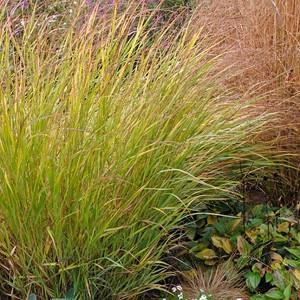Panicum Virgatum 'Shenandoah', Panicum 'Shenandoah', Switch Grass 'Shenandoah'