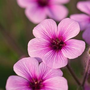 Geranium maderense, Giant Herb Robert, Madeira Island Geranium, Hardy Geraniums, Best geraniums, Best Border Geranium, purple geranium, violet geranium