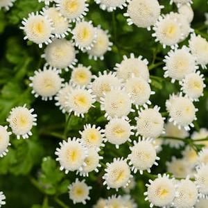 Feverfew, Maids, Pale Maids, Pellitory, Bachelor's Buttons, Maithes, Matricaria Parthenium, Chrysanthemum Parthenium