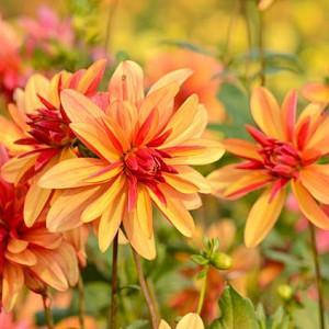 Dahlia 'Jescot Julie', 'Jescot Julie' Dahlia, Orchid Dahlias, Miscellaneous Dahlias, Orange Dahlias, Double Dahlias, Dahlia Tubers, Dahlia Bulbs, Dahlia Flower, Dahlia Flowers, summer bulbs