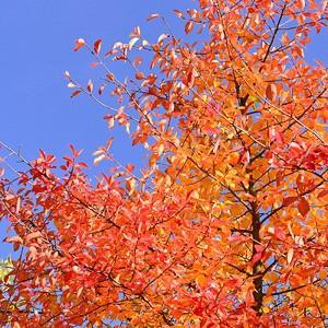 Nyssa Sylvatica,Black Gum, Tupelo, Black Gum Tree, Common Tupelo Tree, Cotton Gum, Pepperidge, Sour Gum Tree, Fall color interest