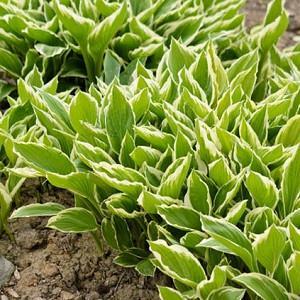 Hosta Fortunei var. Hyacinthina, Hyacinthine Plantain Lily, Hosta 'Hyacinthina', Shade perennials, Plants for shade, variegated Hosta, variegated Plantain Lily,Hosta 'Fortunei Hyacinthina'