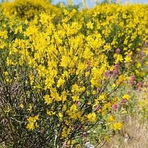 Spartium Junceum (Spanish Broom), Spanish Broom, Rush Broom, Weaver's Broom, Mediterranean plants, Mediterranean shrubs, Yellow flowers