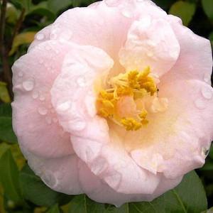 Camellia Japonica 'April Blush', Camellia 'April Blush','April Blush' Camellia, Cold Hardy Camellias, Camellia Hybrids, Pink flowers, Spring Camellias, Spring Blooming Camellias, Winter Blooming Camellias, Mid Season Camellias