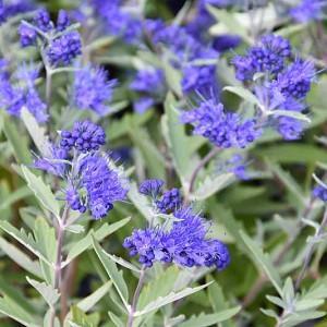 Caryopteris x clandonensis 'Kew Blue', Bluebeard 'Kew Blue', Caryopteris 'Kew Blue', Kew Blue Bluebeard, Kew Blue Blue Mist Spiraea, Blue Flowers, Blue Spiraea