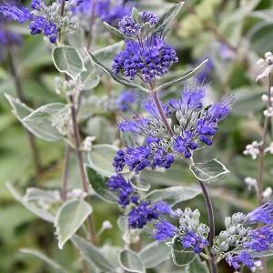 Caryopteris x clandonensis 'Dark Knight', Bluebeard 'Dark Knight', Caryopteris 'Dark Knight', Dark Knight Bluebeard, Dark Knight Blue Mist Spiraea, Blue Flowers, Blue Spiraea