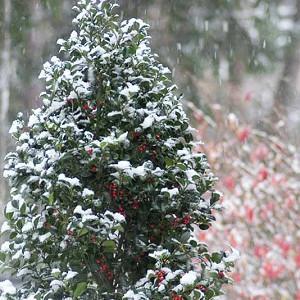 Ilex x Meserveae 'Castle Spire', Blue Holly 'Castle Spire', red berries, evergreen shrub, Aquifoliaceae, Berry, holly, Ilex, winter shrub