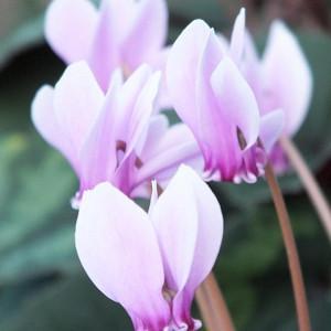 Cyclamen Hederifolium, Ivy-Leaved Cyclamen, Neapolitan Cyclamen, Sowbread, fall flowering bulb, fall cyclamen, Pink flowering bulb, White flowering bulb, Cyclamen neapolitanum