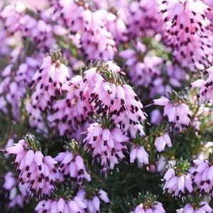 Erica x Darleyensis 'Furzey', Winter Heath 'Furzey', Heather 'Furzey', Heath 'Furzey', Pink Heath, Pink Heather, Pink Flowers,lilac Heath, lilac Heather, lilac Flowers