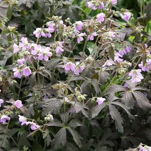 Geranium maculatum 'Espresso',Spotted Cranesbill 'Espresso', Hardy Geraniums, Best geraniums, Best rock garden Geranium, pink geranium, Dark Leaves Geranium