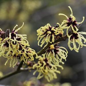 Hamamelis x Intermedia 'Primavera', Witch Hazel 'Primavera', Chinese Witch Hazel 'Primavera', Yellow Flowers, Yellow Witch Hazel,Orange Flowers, Orange Witch Hazel,