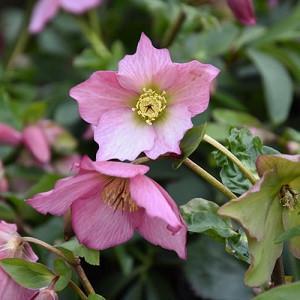 Helleborus 'Walberton's Rosemary',Christmas Rose 'Walberton's Rosemary', Lenten Rose 'Walberton's Rosemary', Helleborus 'Walhero', Hellebore 'Walberton's Rosemary', Pink Hellebore