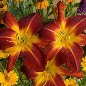 Hemerocallis 'Ruby Spider', Daylily 'Ruby Spider', Day Lily 'Ruby Spider', 'Ruby Spider' Daylily, daylilies, Daylily, Day Lilies, Spider Daylilies, Spider Daylily, Red flowers, Red day lily, Red Daylily, Hemerocallidaceae, perennial, plant