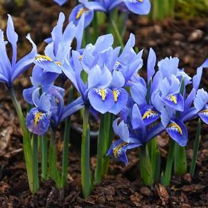Iris 'Alida', Dwarf Iris 'Alida', Iris reticulata 'Alida', Iris reticulata, Dwarf iris, Early spring Iris,Purple flowers, Purple iris,Blue flowers, Blue iris