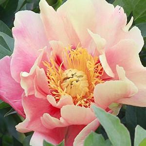 Paeonia 'Julia Rose', Peony 'Julia Rose', 'Julia Rose' Peony, Itoh Peony 'Julia Rose', Intersectional Peony 'Julia Rose', Pink Peonies, Pink flowers, Fragrant Peonies
