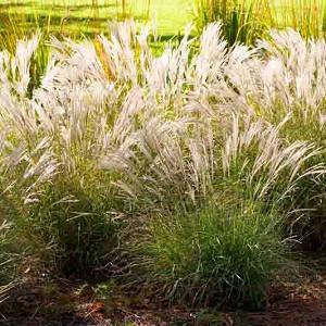 Miscanthus Sinensis 'Little Kitten', Maiden Grass 'Little Kitten', Eulalia 'Little Kitten', Chinese Silver Grass 'Little Kitten', Japanese Silver Grass 'Little Kitten'